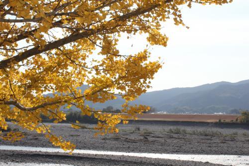 銀杏の木越しに見える河川