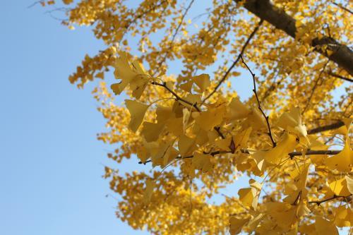 銀杏の枝と葉