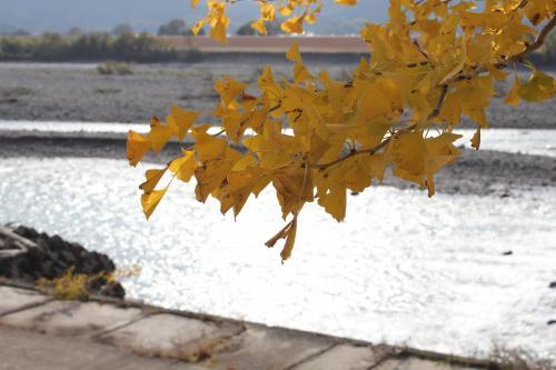 銀杏の枝越しに見える川の水面