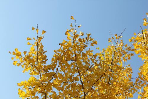 天へ延びる銀杏の枝
