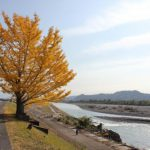 土手沿いの1本の銀杏の木