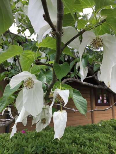 「ハンカチの木」に咲く白い花